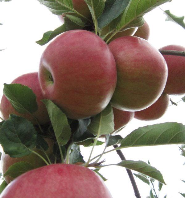 Кюстендил, ябълки, Agrozona.bg