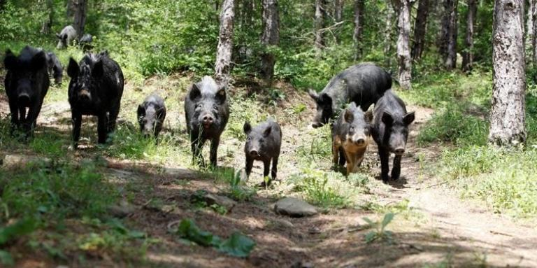автохтонни породи, свине, Agrozona.bg