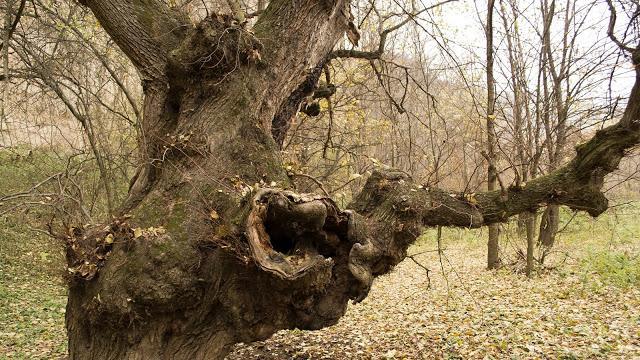 болест, вековни дървета, Agrozona.bg