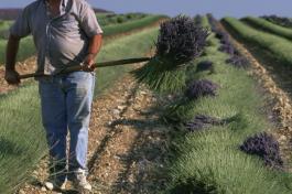 френски фермер самоубийство