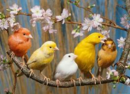 Жива изложба с елитни канарчета ще гостува в Бургас