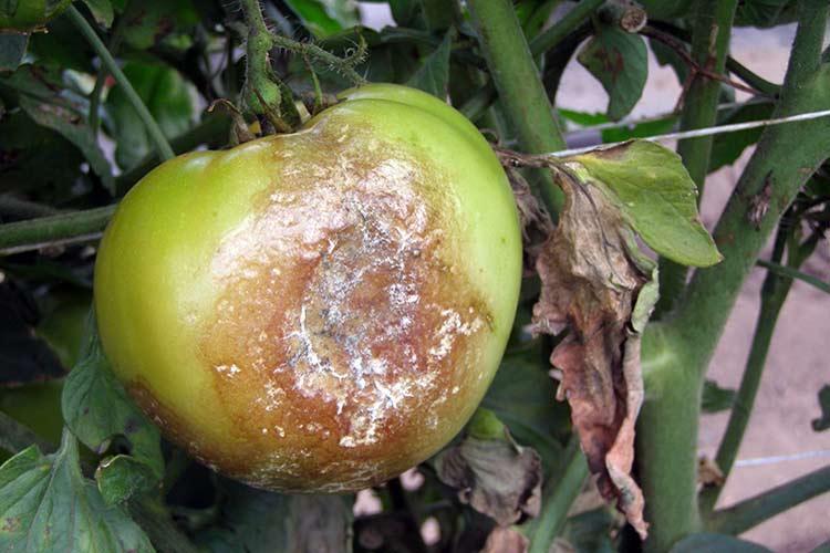 болен домат фитофтора мана