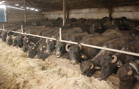 Биволи, говеда, Agrozona.bg