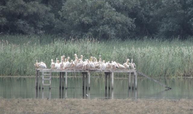 колония, пеликани, Agrozona.bg