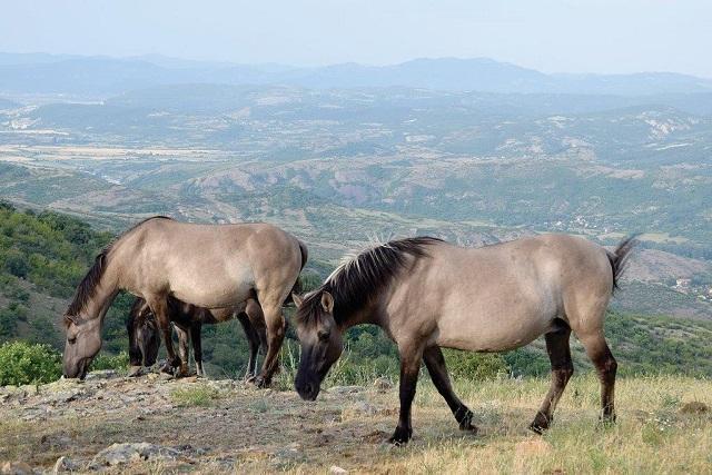 Коне, Родопи, Agrozona.bg