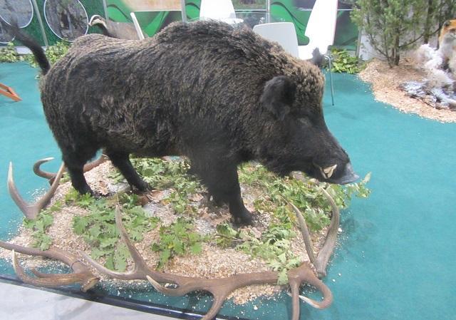диви свине, ИАГ, Agrozona.bg