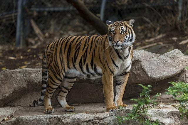 зоопарк, тигрица, Agrozona.bg