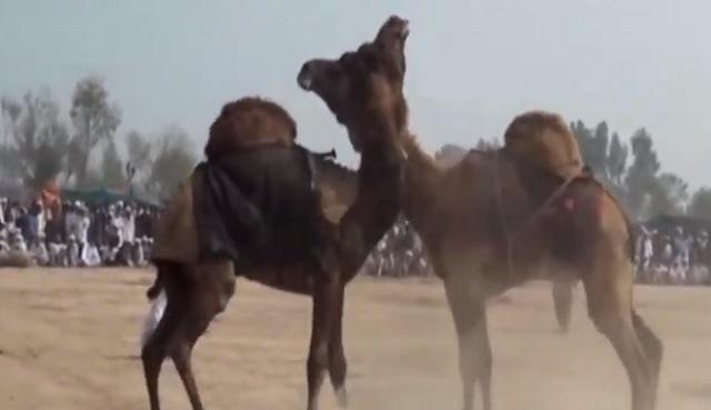 Турция камили, Agrozona.bg