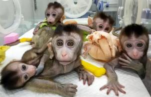 За първи път клонираха генетично модифицирани маймуни (видео)
