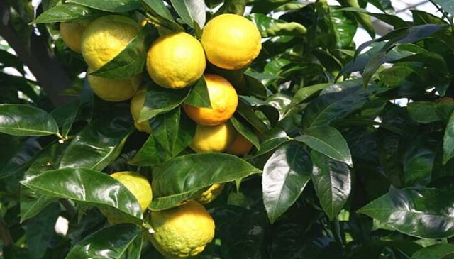 Див лимон, Agrozona.bg