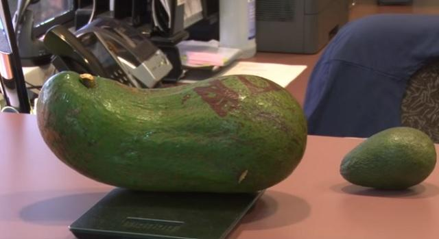 авокадо, рекорд, Agrozona.bg