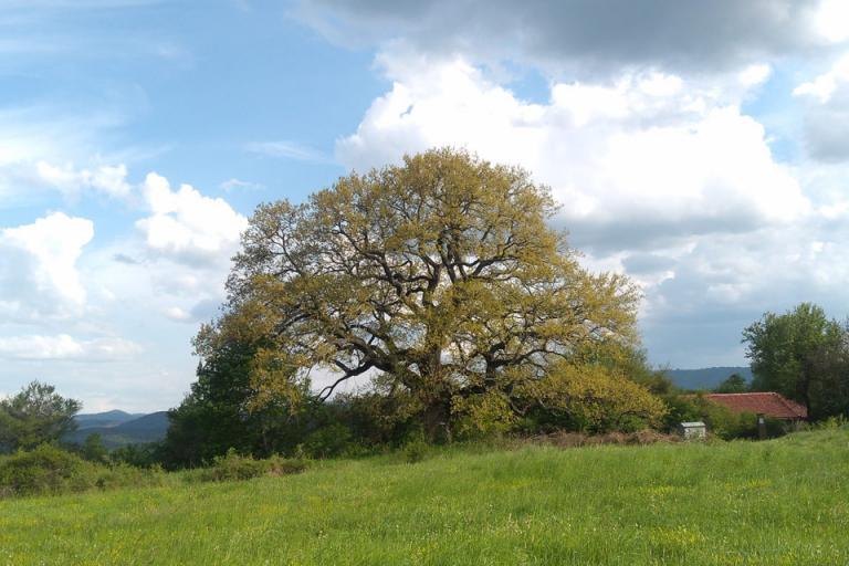 дъб, дърво, Agrozona.bg