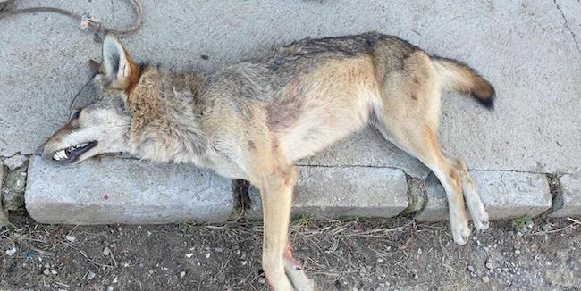 Абърдийн Ангус, вълк, Agrozona.bg