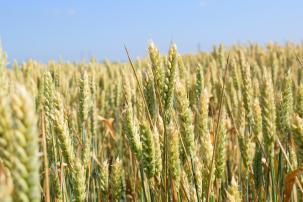 Успешните решения за растителна защита при житни култури от Corteva Agriscience