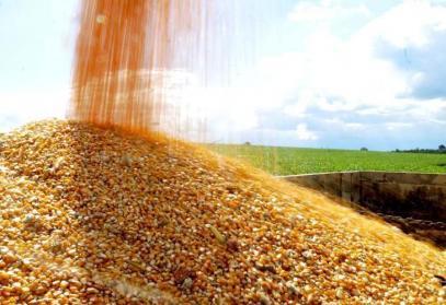 Изкупните цени на пшеницата и царевицата бележат леко понижение