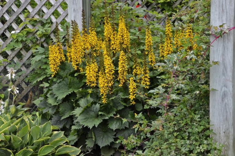 високи растения, лупина, Agrozona.bg