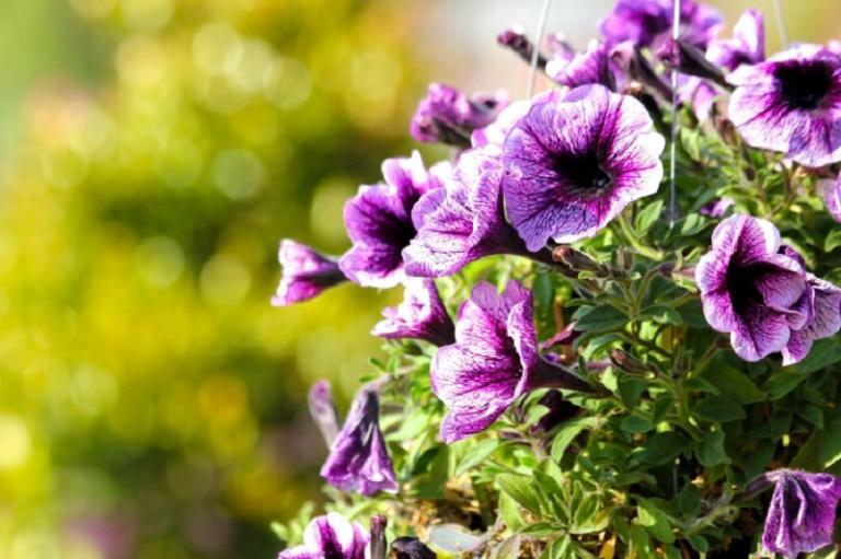 градина, петунии, Agrozona.bg