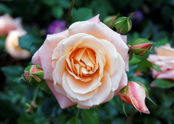 закон, маслодайна роза, Agrozona.bg