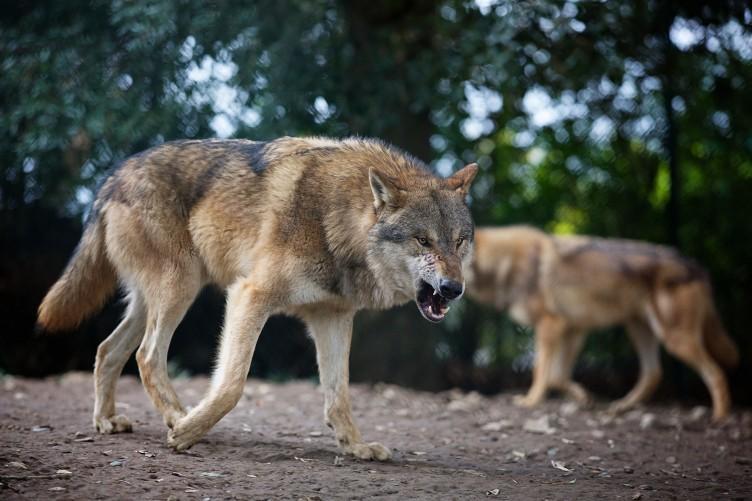 Ардино, вълци, Agrozona.bg