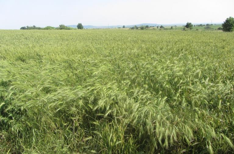 пшеница и ечемик, реколтиране, Agrozona.bg