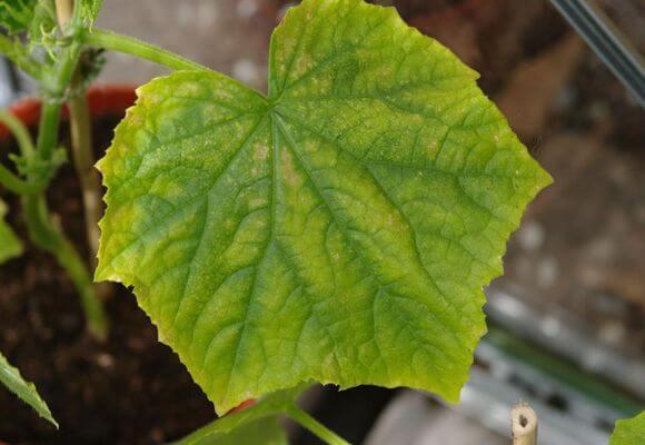 краставици, пожълтяване на листата, Agrozona.bg