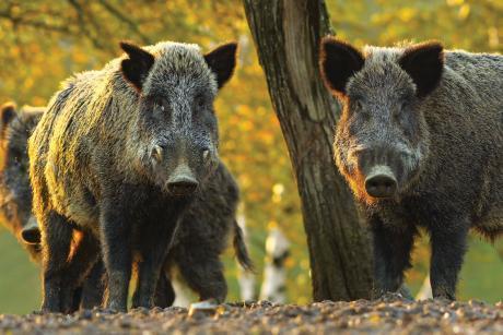 АЧС, дива свиня, Agrozona.bg