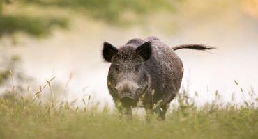 бракониерство, дива свиня, Agrozona.bg