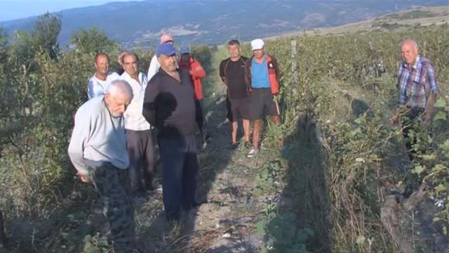 грозде, лозя, Agrozona.bg