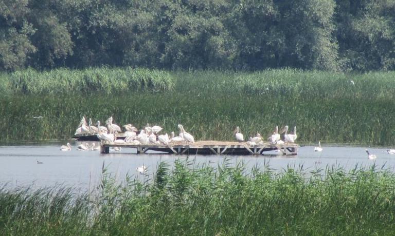 малки, пеликани, Agrozona.bg