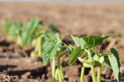 По-оскъдна реколта на фасул очакват в Добричко