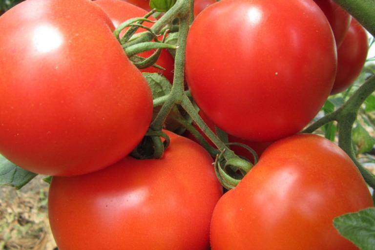 миниращ молец по доматите, Agrozona.bg
