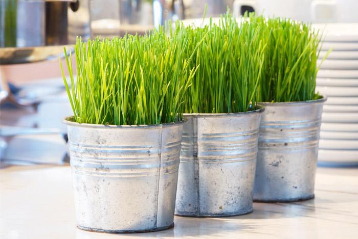 пшенични кълнове, Agrozona.bg