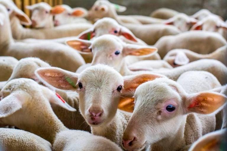 ЕС, овце, Agrozona.bg