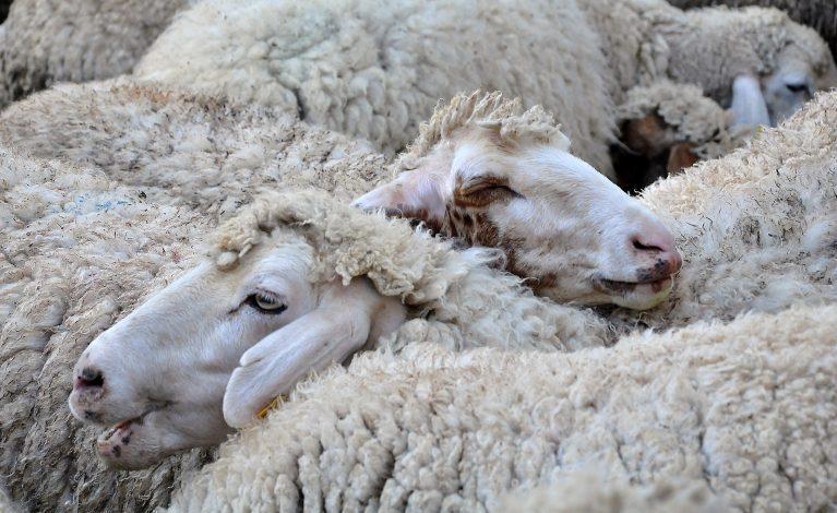 кози, овце, Agrozona.bg