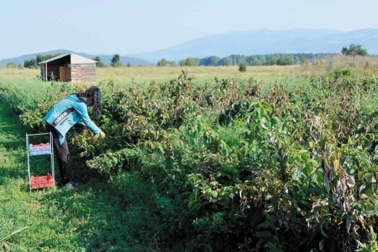 малини, малинопроизводители, Agrozona.bg