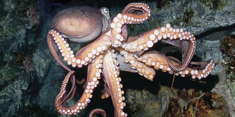 oktopod octopus -agrozona-bg