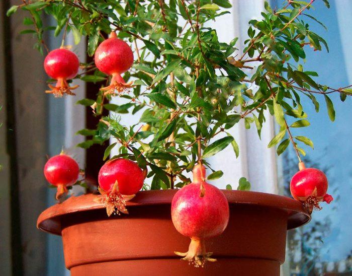 Кои домашни растения могат да се ядат (изцяло или частично)?