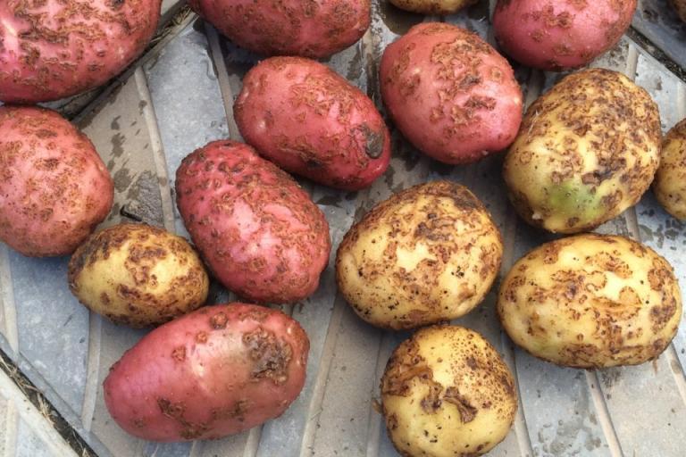 краста по картофите, Agrozona.bg