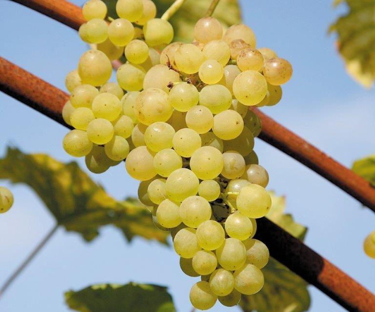 винено грозде, вино, Agrozona.bg