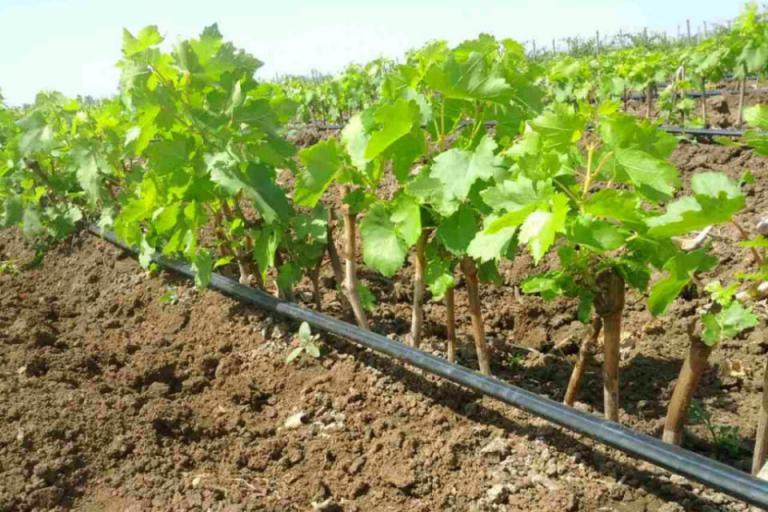 Национална програма за подпомагане на лозаро-винарския сектор за периода 2019 – 2023 г., промени, Agrozona.bg