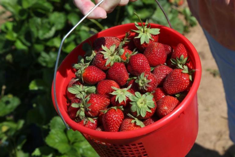 БАМ-Я, производство на ягоди, Agrozona.bg
