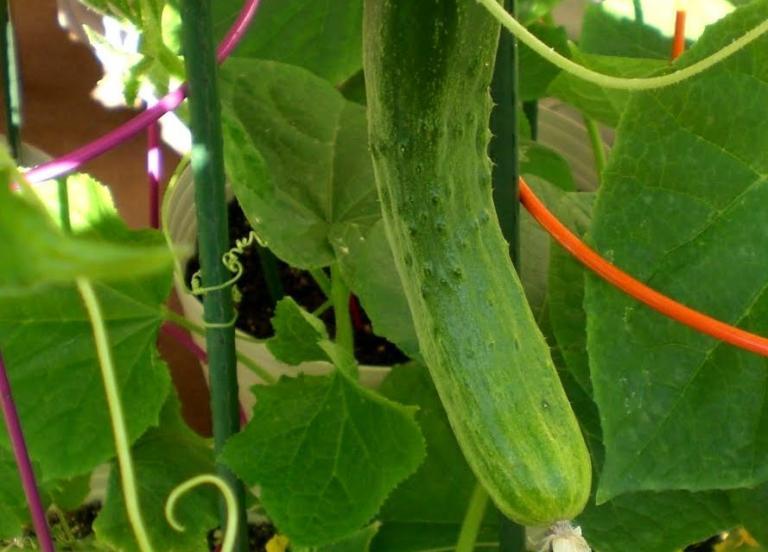 краставици, отглеждане, Agrozona.bg