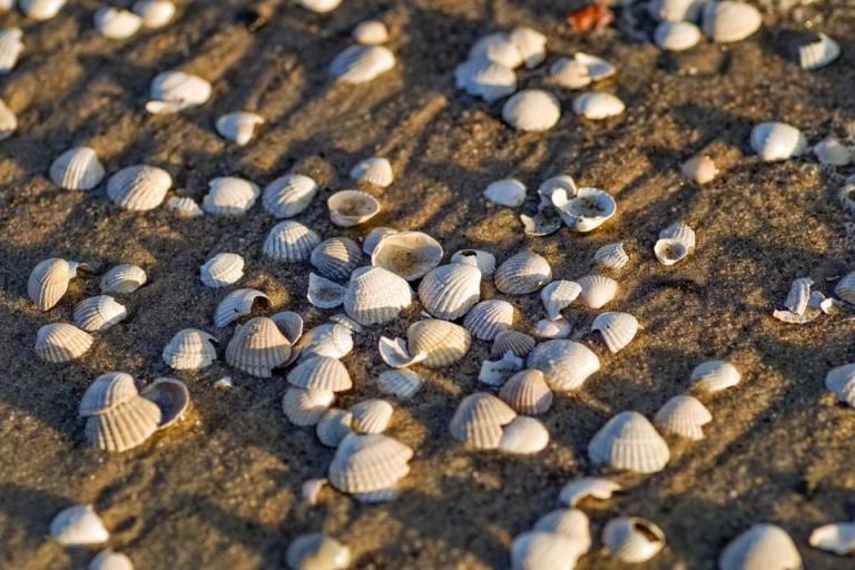 бели пясъчни миди, забрана, Agrozona.bg