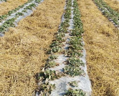 Със слама и агровлакно борят измръзванията на ягодите