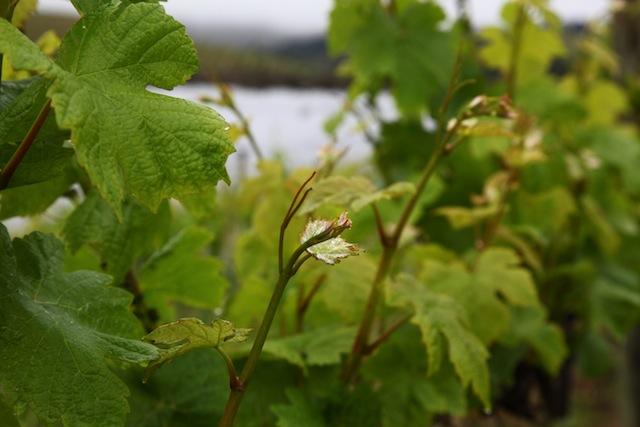 зелени резитби, лозе, Agrozona.bg