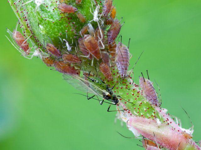 листни въшки, унищожаване, Agrozona.bg