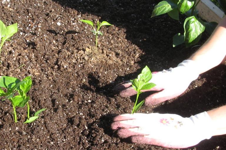 разсаждане на зеленчуци, Agrozona.bg