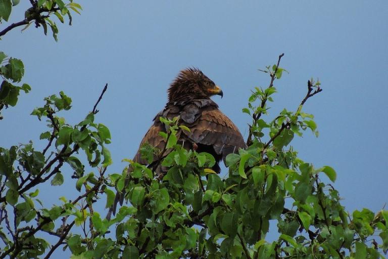 креслив орел, полет, Agrozona.bg