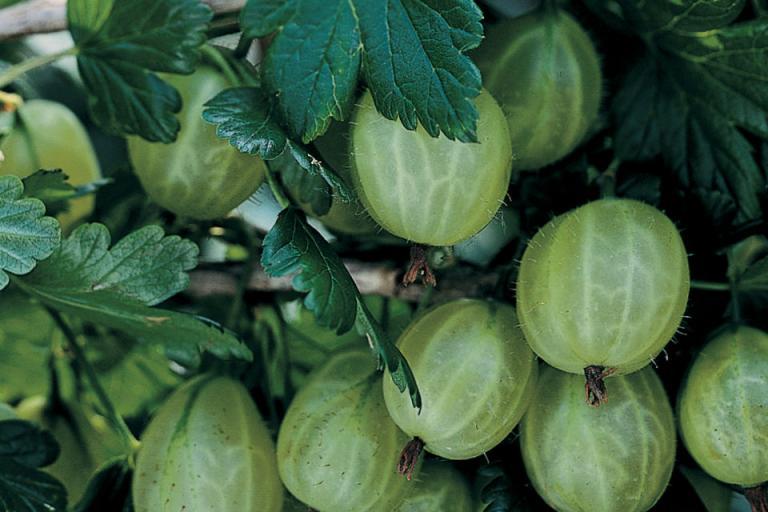 бодливо грозде, отглеждане, Agrozona.bg