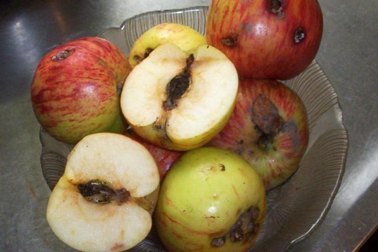 ябълков плодов червей, Agrozona.bg